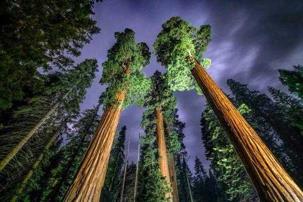عکس / درختان بلند قامت سکویا در عکس روز نشنال جئوگرافیک