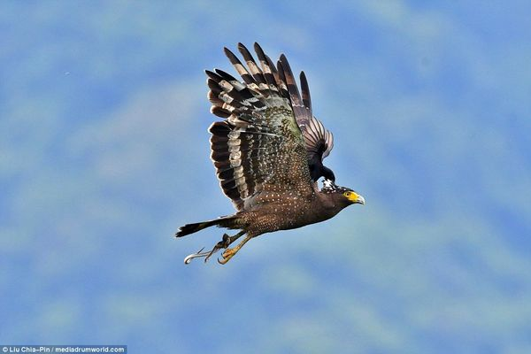 عجیب و دیدنی/ کولی دادن یک عقاب