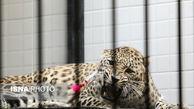 با انتقال پلنگ ایرانی از پرتغال ماده ایرانی باغ وحش تهران باردار شد